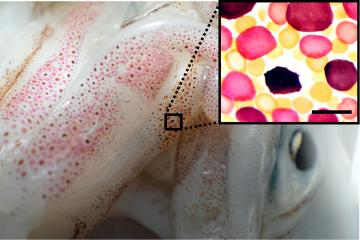 Red, yellow, and brown Chromatophores (inset) are isolated from squid Doryteuthis pealei. Image credit: University of New Hampshire