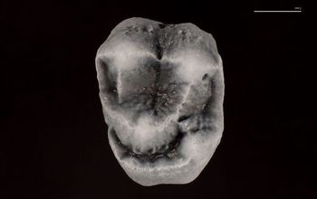 Photograph of the upper molar of 21 million-year-old Panamacebus, the first-ever fossil evidence for monkeys recovered from the North American landmass. Image credit: Aldo Rincon, Florida Museum of Natural History