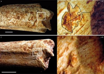 The two ends of the femur of a 500,000-year-old hominin from Morocco show tooth marks that were made by carnivores, most likely hyenas. Image credit: MPI f. Evolutionary Anthropology