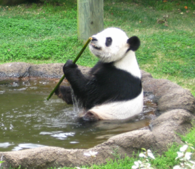 Le Le, a male giant panda at the Memphis Zoo, feeds on a bamboo stalk. Researchers analyzed the percentage of feeding time Le Le and his female zoo mate, Ya Ya, spent feeding on bamboo leaves relative to stalks. Image credit: Candace Williams