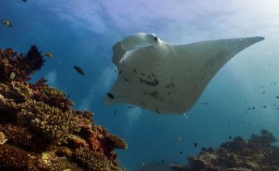 A reef manta ray at Lady Elliot Island. Photo: Amelia Armstrong.