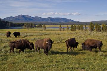 Bison in the greater Yellowstone area. Image credit: Yellowstone National Park