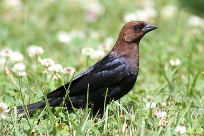 The American brown-headed cowbird lays its eggs in other birds' nests and leaves its young to the foster parents. If the host birds reject the eggs the cowbird turns nasty: It destroys the nest and by this forces the victims to accept its eggs in the future. Credit: 123RF/S. Byland