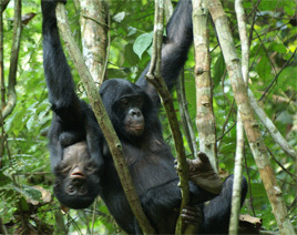 Bonobo mother and infant. Bonobos anticipate signals from their peers before they have been fully articulated. Image credit: C. Deimel