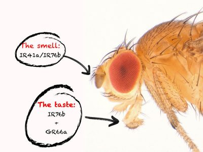 Two receptors each in the smell and taste organs enable the fruit fly to track down vital polyamines in food. Credit: MPI of Neurobiology/Gompel