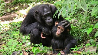 Mother chimp with her infant. Chimpanzees engage in more time-consuming communicative negotiations. Image credit: M. Fröhlich