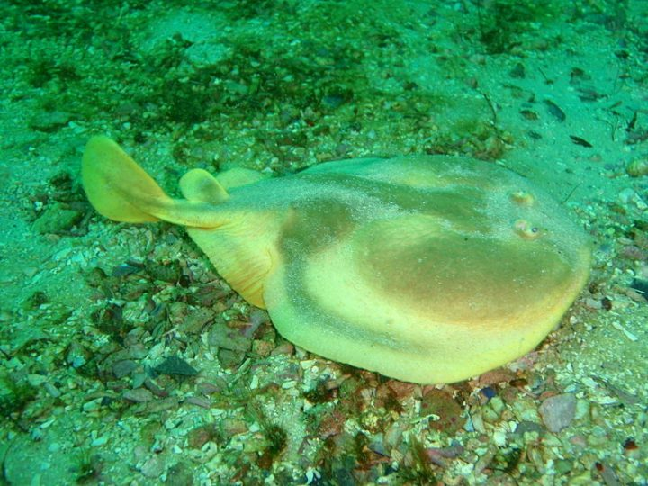 Electric rays are scary in the ocean, but could help developing modern high-efficiency power generators. Image credit: Peter Southwood via Wikimedia, CC-BY-SA-3.0