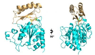 This ribbon diagram shows two views of the structure of the enzyme Tps2 as it removes a phosphate from a sugar molecule (yellow, orange and red). The result of this process is a sugar called trehalose which forms a tough coating on pathogenic fungi, enabling them to make the transition from the ambient temperature of the environment to the much hotter temperature inside a human host. Image credit: Yi Miao, Duke University