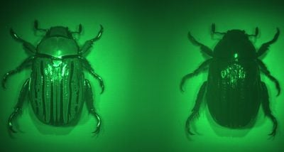 Imaging with the multispectral chiral lens forms two images of the beetle, Chrysina gloriosa, on the color camera. Image courtesy of the Capasso Lab/Harvard SEAS