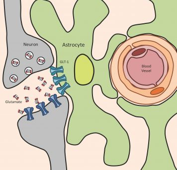GLT-1, a glutamate transporter, soaks up glutamate (a neurotransmitter) released by neurons and converts it back into a safer substance. Image credit: Wilson lab