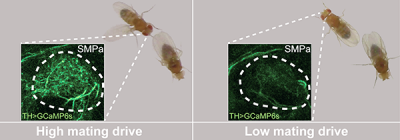 High dopamine levels corresponded with high mating drive in male flies (left), and low dopamine levels corresponded with low drive (right). Image credit: Stephen Zhang