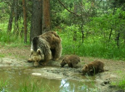 A mother bear and her two cubs stop for a drink in Sarıkamış Forest, eastern Turkey. Image credit: Karla Garcia