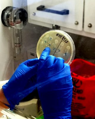 Buonomo counts colonies of C. difficile on a plate inside a protective cabinet.