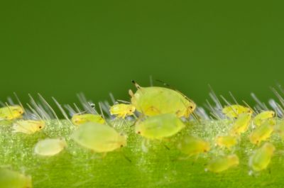 ISU entomology researchers are studying the possibility of employing biological control to combat soybean aphids, like those pictured here. Image credit: Matt Kaiser