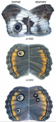 """Deleting a single gene caused a butterfly to lose the """"eyespot"""" on its wing. The spots evolved to scare away predators, but the genes that code for them also do other jobs in shaping the body of the insect. Credit: Cornell University"""