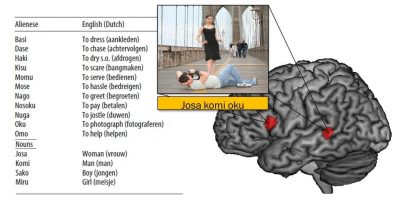 """When the unfamiliar word order """"josa komi oku"""" (which literelly translated means """"man woman photograph"""") were repeated, brain activation increased within regions of the brain network known to be involved for your native language. Image credit: MPI for for Psycholinguistics"""