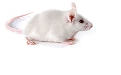 n this study, researchers used Swiss Webster (CFW) outbred mice (pictured here), which are more similar to the natural population than the inbred mice typically used in medical research. Photo courtesy of Charles River