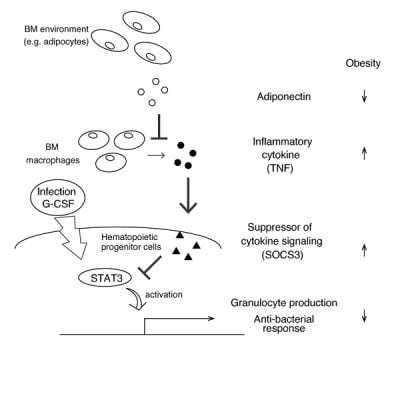 Proposed model of obesity-induced impaired granulopoiesis and aggravation of infection regulated by adiponectin Adiponectin in bone marrow (BM) suppresses expression of SOCS3 in hematopoietic progenitor cells by inhibiting production of inflammatory cytokine TNF from bone marrow macrophages. Reduced adiponectin in obesity induces abnormally high expression of SOCS3, leading to the aggravation of infection caused by inhibiting emergency granulopoiesis when bacterial infection occurs. Image credit: Yosuke Masamoto.