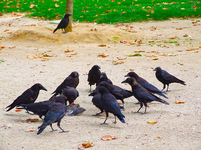 Maybe not the prettiest birds around, but scavenger crows keep streets clean from rotting animal carcasses. Image credit: Irene Stylianou via Wikimedia, CC BY-SA 2.0
