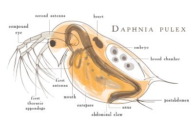 Daphnia pulex has conquered the world, one pond at a time. Graphic by Julie McMahon