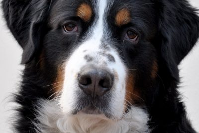 Dogs with naturally occurring cancers are more similar in size and biology to humans than are other mammals, such as mice. Credit: Wikimedia Commons
