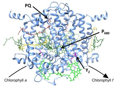 This illustration shows a model of the newly-identified clorophyll f synthase enzyme that converts chlorophyll a into chlorophyll f. The model is based on the known structure of the Photosystem II reaction center -- a core unit of the machinery of photosynthesis to which the enzyme is related. The bright green molecules near the bottom of the structure represent chlorophyll a molecules that would be modified in light to produce chlorophyll f. Image credit: Bryant lab, Penn State University