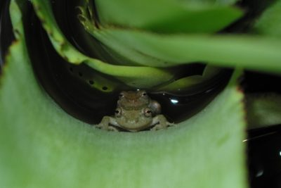 Alcatraz snouted treefrogs (Scinax alcatraz) embrace and lay eggs in water accumulated in a bromeliad. Credit: Kelly R. Zamudio