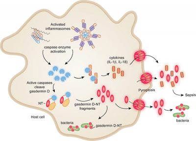 Graphic representation of the cascade from inflammasome activation through pyroptosis and bacterial death. Image: Xing Liu and Youdong Pan