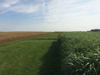 Perennial grasses, like those shown here, could reduce nitrogen runoff if planted on farms in the Corn Belt, according to a new ISU study.