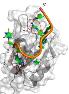 A schematic of the RNA-binding region of Rbfox2, shown in grey, attached to part of its natural RNA target, depicted in orange, green, blue and red. Image credit: Yu Chen, Fan Yang, Gabriele Varani