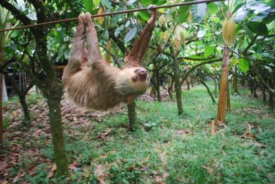 A two-toed sloth transits a plantation in northeastern Costa Rica using a cable ordinarily used to move cacao. A team of UW–Madison scientists recently found why sloths are such deliberate, slow-moving animals. Image credit: Zach Peery