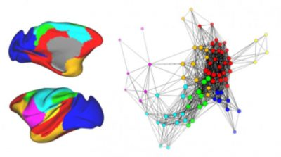 "On the left is a drawing of the monkey brain where each color represents a group of related brain regions. The graph on the right shows how these regions are connected to each other. Each region is represented as a circle, and connections between regions are represented as lines. Regions are considered ""connected"" when their activity patterns are similar. Looking across the whole brain, these regions and their connections form a cohesive network. Credit: UC Davis"