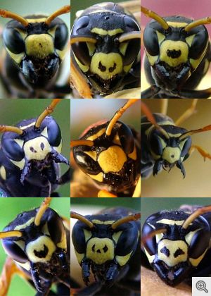 Paper wasps have variable black facial patterns that signal their fighting ability. Wasps with more of these irregular black spots on their faces win more fights and are avoided by rivals. Image credit: Elizabeth Tibbetts.