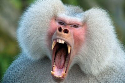 The threat display of a Hamadryas baboon. UC Berkeley paleontologists studied the molars and premolars of baboons to uncover inherited dental traits that can help track primate and human evolution.
