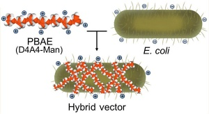 The core of the transport capsule is harmless E. coli. A synthetic polymer — poly (beta amino ester), or PBAE — wraps around the bacteria. The positive-charged polymer, combined with the negative-charged bacteria cell wall, create a hybrid capsule. Image credit: University at Buffalo.