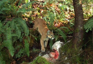 A cougar stands over its prey. Image credit: Brian Kertson/Washington Department of Fish and Wildlife