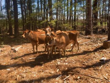 UNH recently cleared a silvopasture area for heifers at the UNH Organic Dairy Research Farm. Once the pasture is established, the heifers will graze among the trees. For now, they are enjoying their new environment with more shade. Credit: UNH