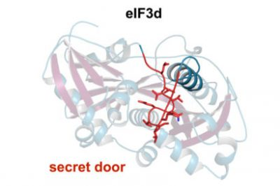 The eIF3d protein has a secret door (red) that opens when the protein binds to certain types of mRNA that are involved in cell growth and proliferation. Once the secret door is open, a new binding site becomes available for the chemical handle at the end of the mRNA to bind and initiate translation of the mRNA. Amy Lee graphic