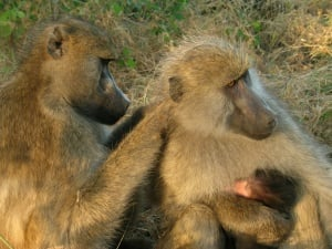 Female baboons groom one another to cement a close, stable relationship.
