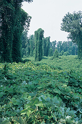 Kudzu completely engulfs this Mississippi landscape and robs it of its value.