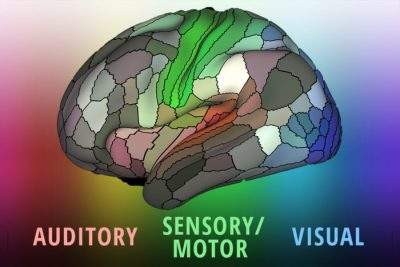 A detailed new map by researchers at Washington University School of Medicine in St. Louis lays out the landscape of the cerebral cortex – the outermost layer of the brain and the dominant structure involved in sensory perception and attention, as well as distinctly human functions such as language, tool use and abstract thinking. Image credit: Matthew Glasser/Eric Young