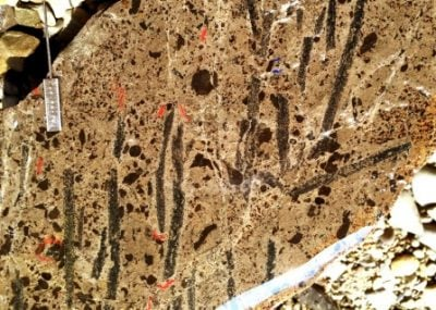 A slab of rock from a study site in Nevada harbors many specimens of colonies of Metabolograptus extraordinarius, a shallow-water graptolite species, which together with some close relatives, replaced all the formerly dominant species following the end-Ordovician mass extinction. Image credit: Charles E. Mitchell