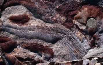 Earliest animals evolved in the mid to late proterozoic eon and lie deep in the fossil record. Image credit: Douglas Erwin
