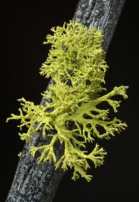 Letharia vulpina, often found in Montana forests, is one of many lichen species worldwide that houses yeast as a third symbiotic partner. Image credit: Tim Wheeler