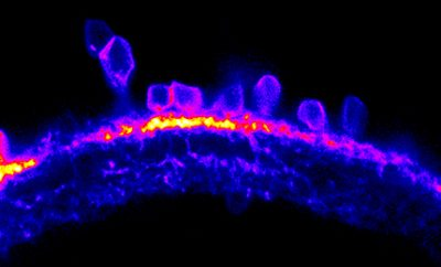 Cells inside the retina that are crucial for generating 'orientation selectivity' in larval zebrafish. These were made visible by using a fluorescent protein marker. Credit: King's College London