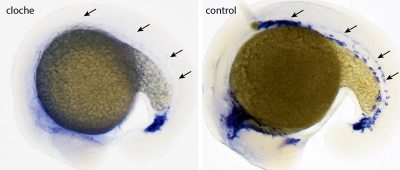 No blood vessel growth without cloche: While in the control embryo after 16 hours blood vessel cells can be detected (blue, arrows), in the cloche mutant neither blood nor vessel cells develop (arrows). The inner circle is the yolk. Credit: MPI for Heart and Lung Research, Bad Nauheim
