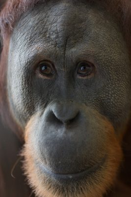 Orang-Utan Rocky of Indianapolis Zoo is capable of controlling his voice. Credit: Indianapolis Zoo, Indiana, USA