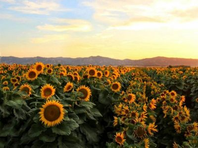 Sunflowers near the UC Davis campus. New campus research shows how sunflowers use their circadian clock to anticipate the dawn and follow the sun across the sky during the day. Credit: Chris Nicolini, UC Davis