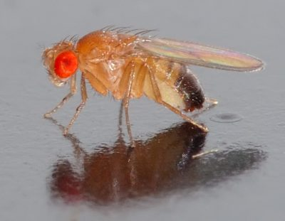 Fruit flies may help scientists understand the underlying mechanism by which HPV can cause cancer as well as identify potential drug treatments. Image credit: Andre Karwath, WikiMedia Commons