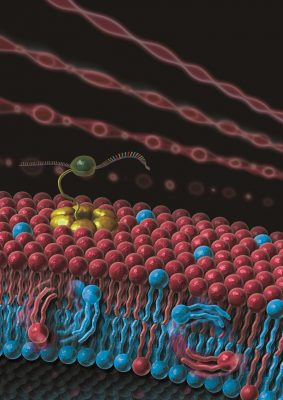 A cross-sectional view of an asymmetric GV that mimics a cell membrane The lipid flip-flop behavior and the improvement of the reconstitution ratio of the membrane proteins. This will be a useful tool for researching the mysteries of asymmetric cell membranes. Image credit: Aki Sato.